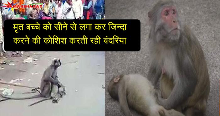 मृत बच्चे को सीने से लगा कर जिन्दा करने की कोशिश करती रही बंदरियां, मगर न उठने पर उसने जो किया वो जान कर आप भी रो पड़ेंगे