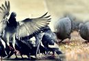 आइए जानें, घर में कबूतरों का आना शुभ माना जाता है या अशुभ